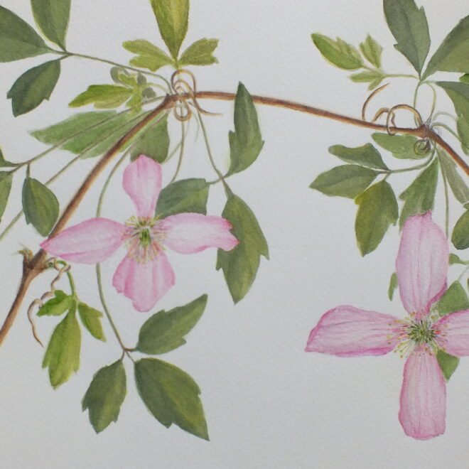 Clematis at Woolpit by Maggie Scott