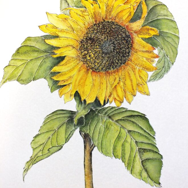 Sunflower at Buxhall by Maggie Scott