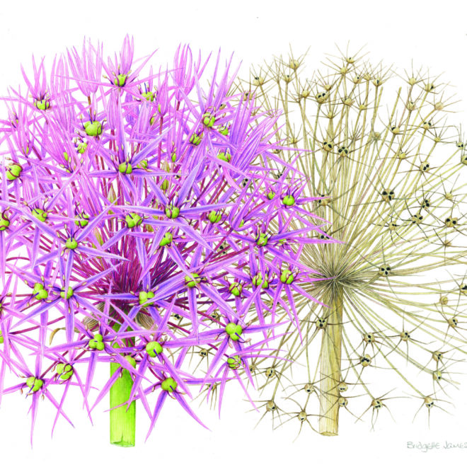 Allium cristophii by Bridgette James