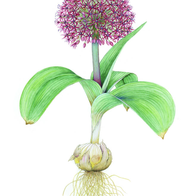 Allium karataviense 'Red Giant' by Bridgette James