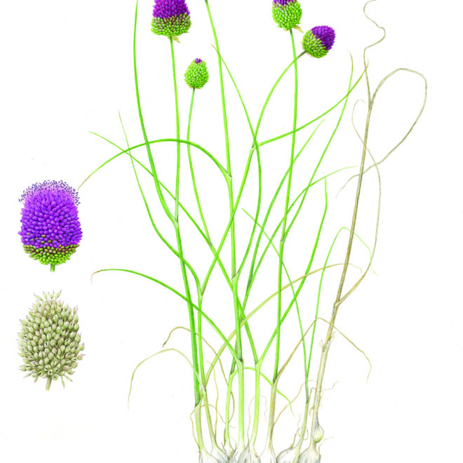 Allium sphaerocephalon by Bridgette James