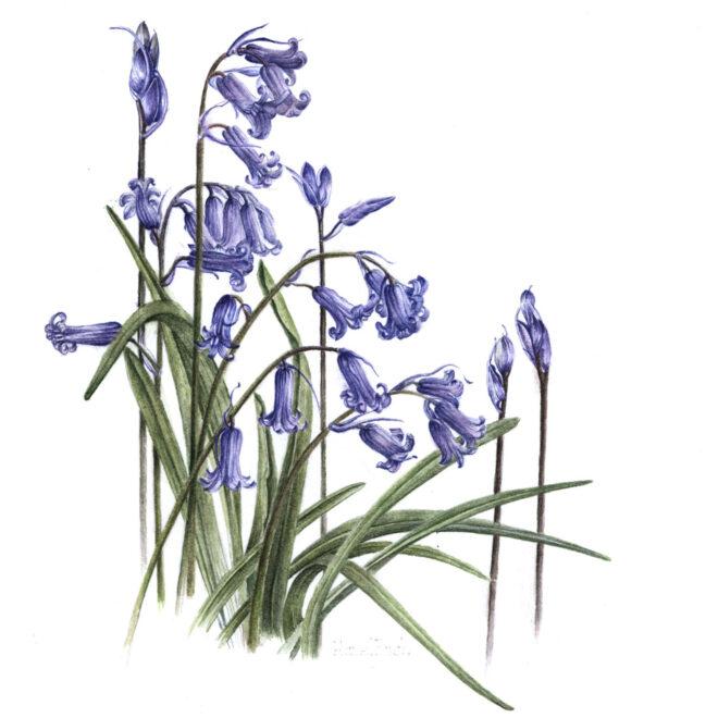English-Bluebells-Wild-Flower-by-Hazel-Rush