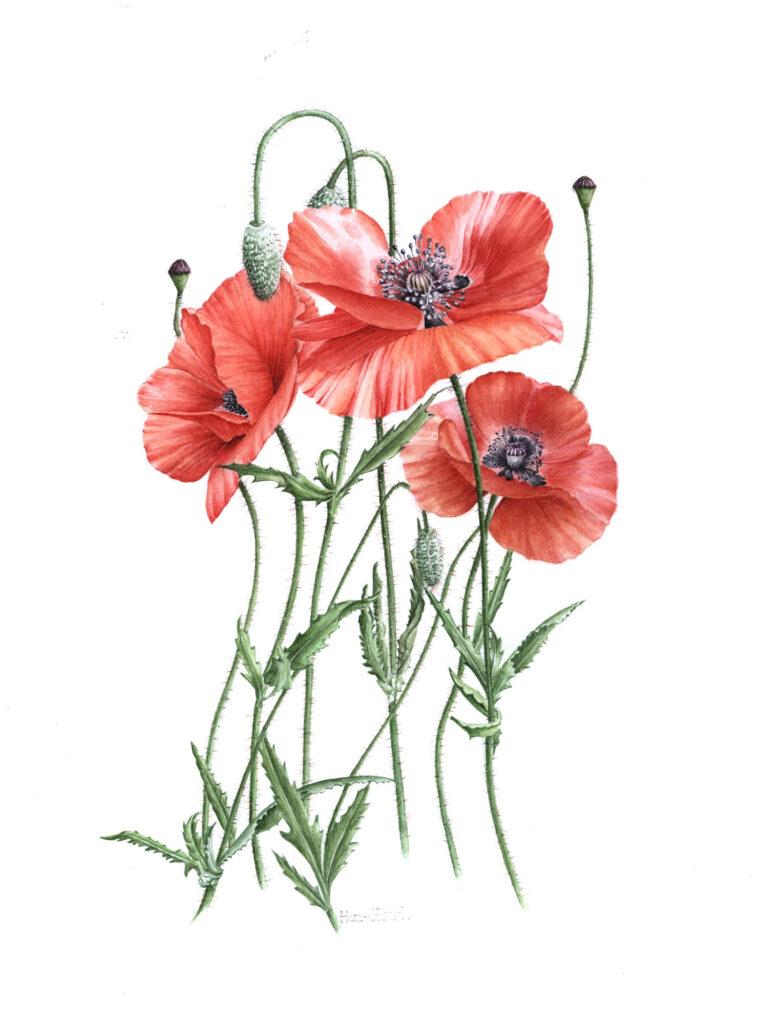 Field-Poppy-Wild-Flower-by-Hazel-Rush