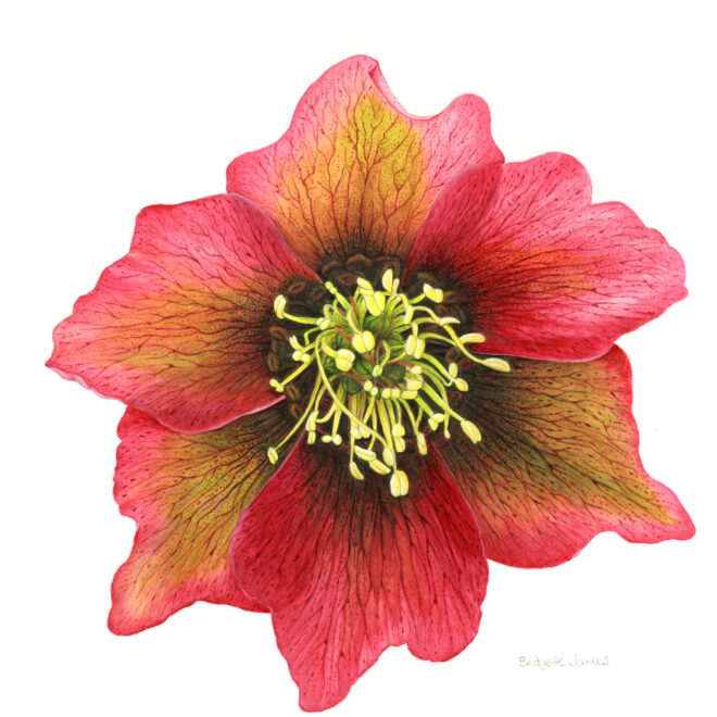 Hellebore by Bridgette James