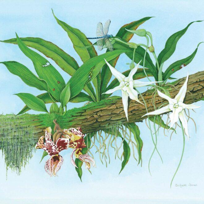 Orchids Stanhopea devoniensis, Angraecum sesquipedale by Bridgette James