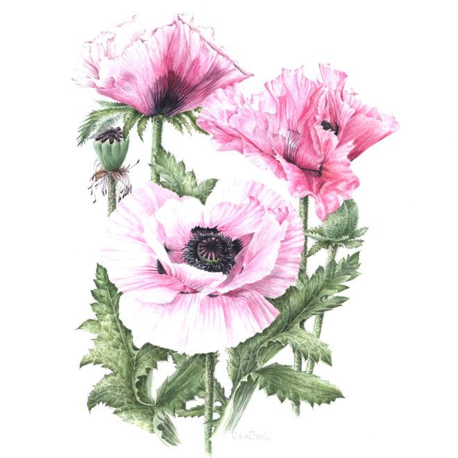 Orientale-Pink-Poppy-by-Hazel-Rush