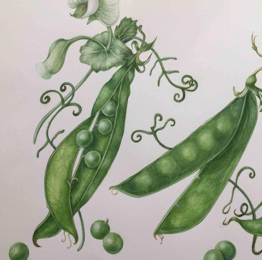 Peas-by-Sarah-McGonigle
