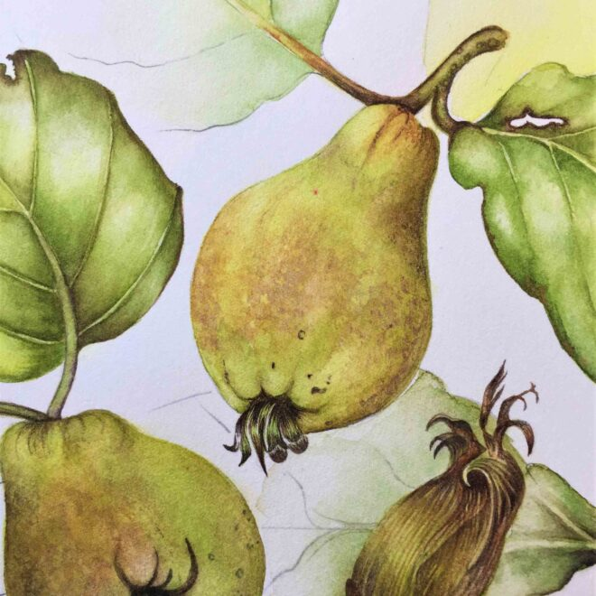 Quince-by-Sarah-McGonigle
