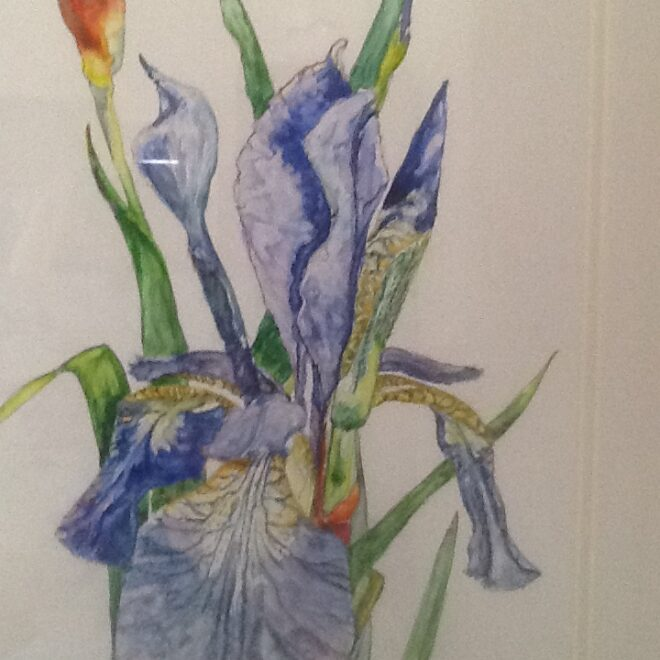 Iris study by Joannie Sandford-Cook